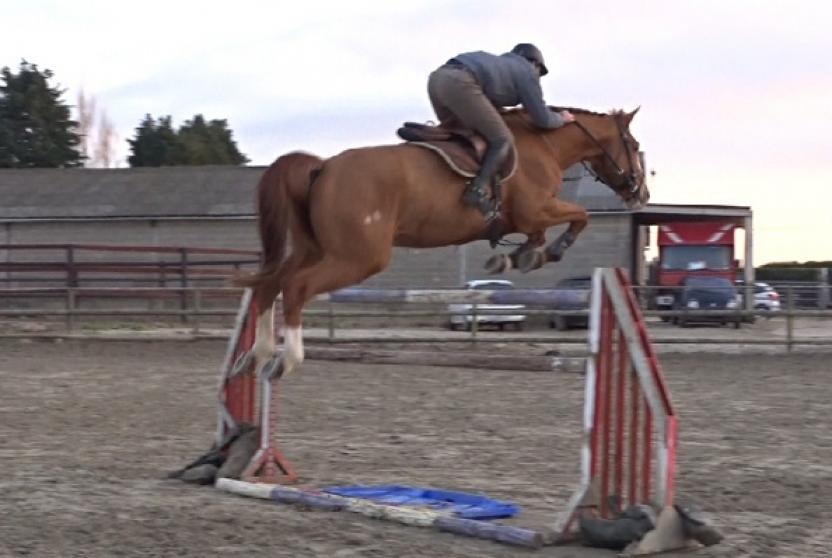 horses for sale tahigon hongre selle fran ais de 11 ans par dollar du murier et double espoir. Black Bedroom Furniture Sets. Home Design Ideas